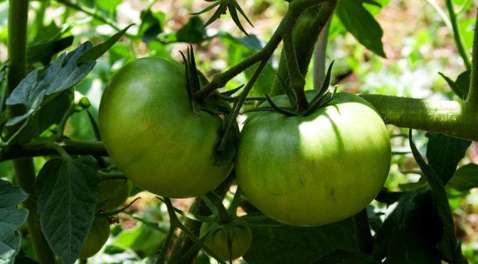 Piękne pomidory z własnej uprawy